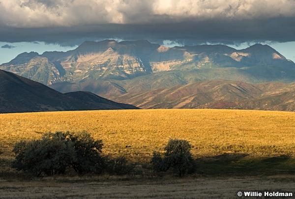 Timp Golden Field