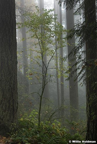 Trees In Fog 102616 7275