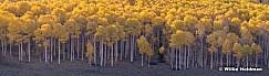 Yellow Aspen Trunks 101019