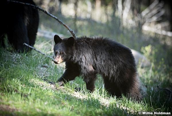 Black Bear Cub 050817 3944