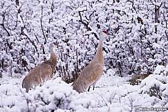 Dancing Cranes 042615 7814